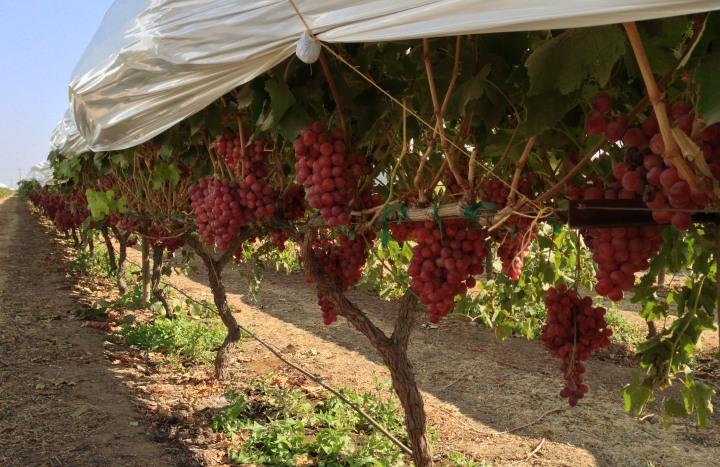 grapes 720x467